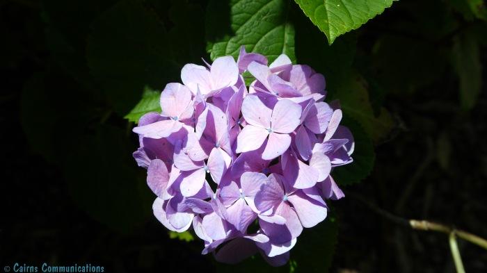 pink hydrangea - auckland