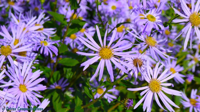 Purple Asters taking in the sun
