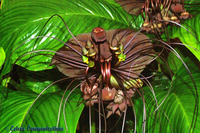 Tacca Chantrieri or Black Bat Plant - san francisco