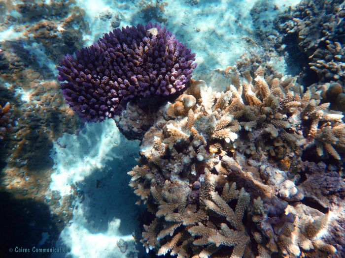 Coral lavender