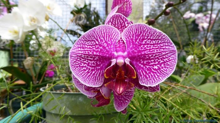 Barbados Orchid