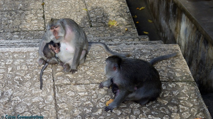 Monkey mothers and babies at Temple in Bali