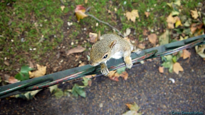 Squirrel saying hello in Kensington Gardens London
