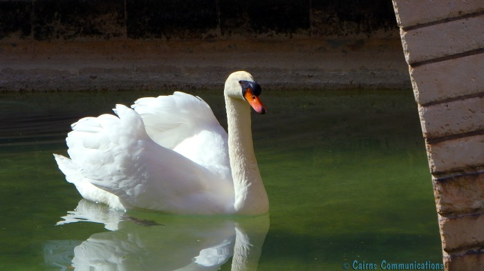 Swan at Mallorca cathedral