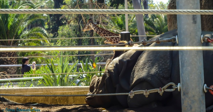 Rhino, San Diego Zoo